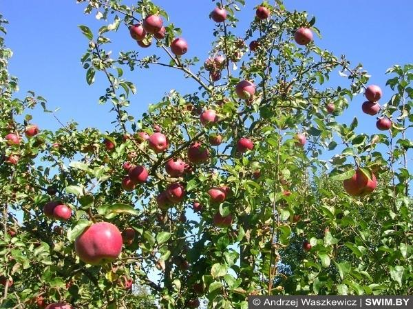 Яблоки, apples, Swim.by