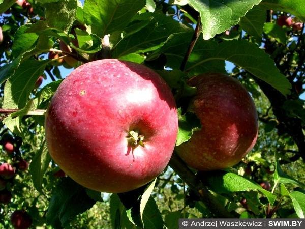 Яблоки, apples, польские яблоки