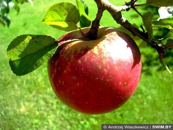 Яблоки, apples, полезные продукты, Swim.by