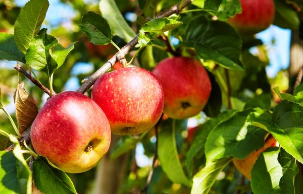 Health Benefits Apples, Apples Nitrition, Sports Nutrition, Health Food, Health Nuitrition, www.swim.by, PASTA PARTY, fiber, vitamins minerals, Apples Benefits, Apples Diet, Apples for Healthy Heart, Apples for Triathlon, Apples for Swimmers, Triathletes, Runners Food, Swim.by