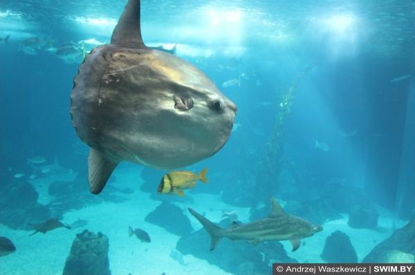 Океанариум в Лиссабоне, рыба-луна, луна-рыба в аквариуме