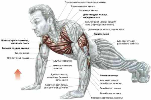 Отжимания от пола, тренировки, фитнес, группы мышц