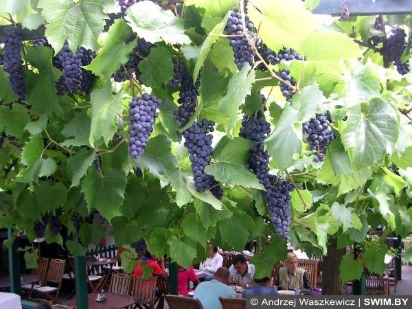 Венгрия виноград, Токайские вина