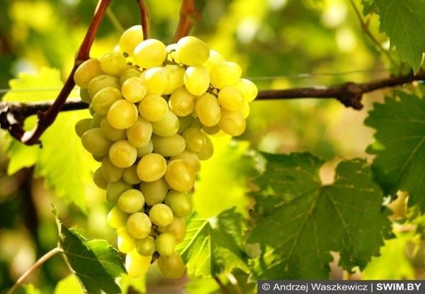 Вино и виноделие Лихтенштейна, вина Лихтенштейна, виноделие в Лихтенштейне, вино Лихтенштейн