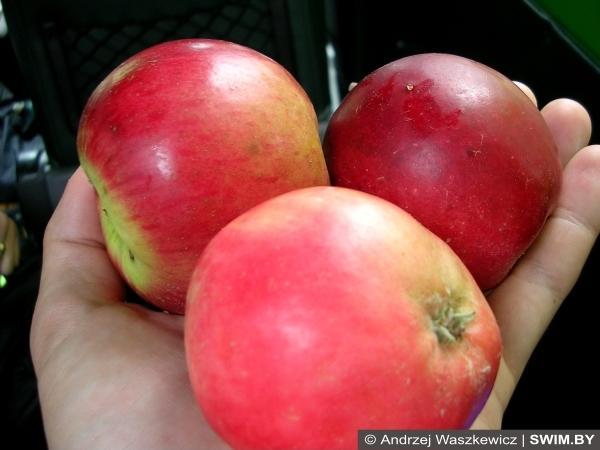 Яблоки Венгрия
